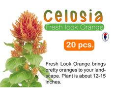 CELOSIA Fresh Look Orange jpg.jpg