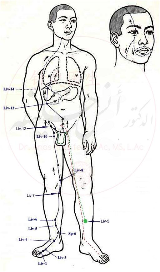 مسار الكبد.jpg