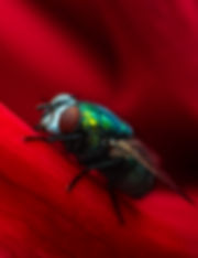 fly on a dahlia