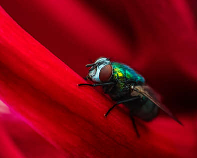red fly