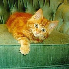 Red Tabby kitten in Manitoba
