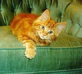 Red Tabby kitten in Manitoba