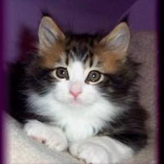 Polydactyl baby kitten