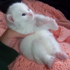 Tiny Polydactyl kitten