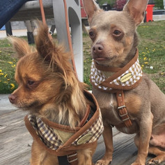 Oops how did that get in here? These are our present Chihuahuas Averil and Armor