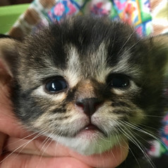 Brown Tabby Poly girl - under evaluation