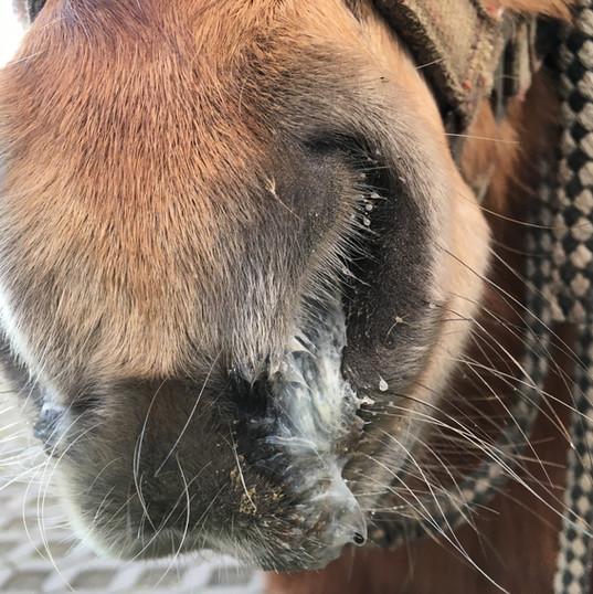 COB Pferd - Soletherapie