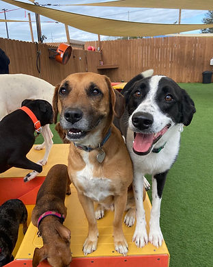 Happy dogs playing at dog day care in wilmington, NC USA