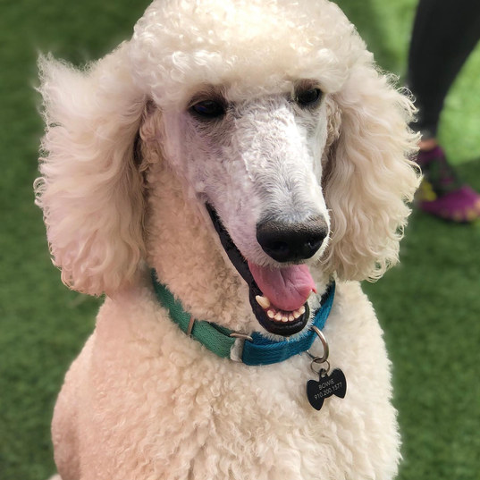 a dog with a haircut at the dog play spot