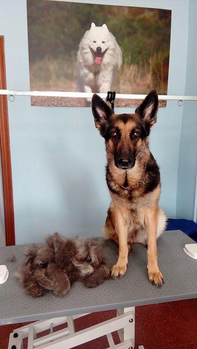 ÉPOCA DE MUDA. En el pastor alemán existen dos épocas de muda al año que duran alrededor de 1 mes y