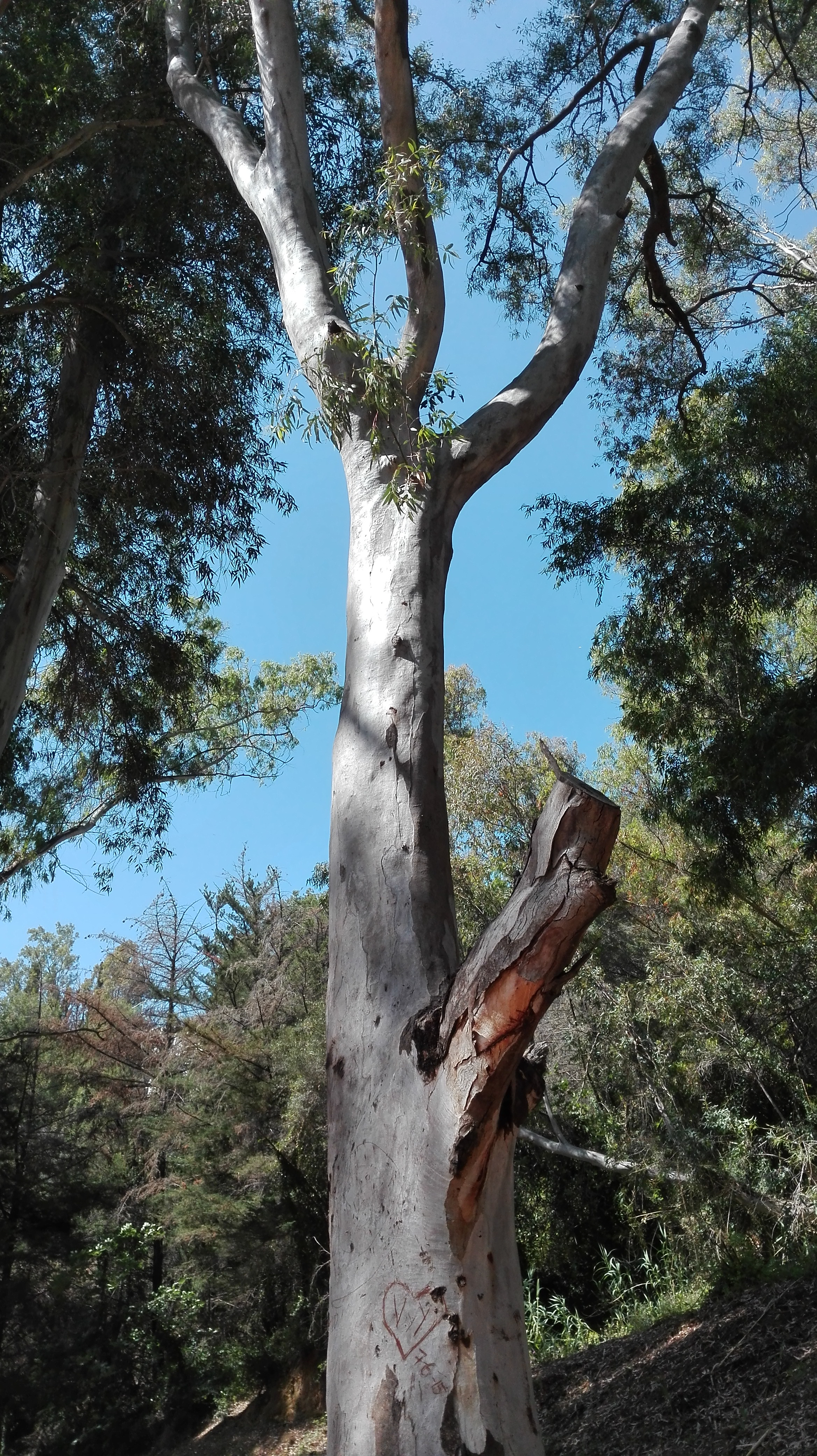 Mi eucalipto