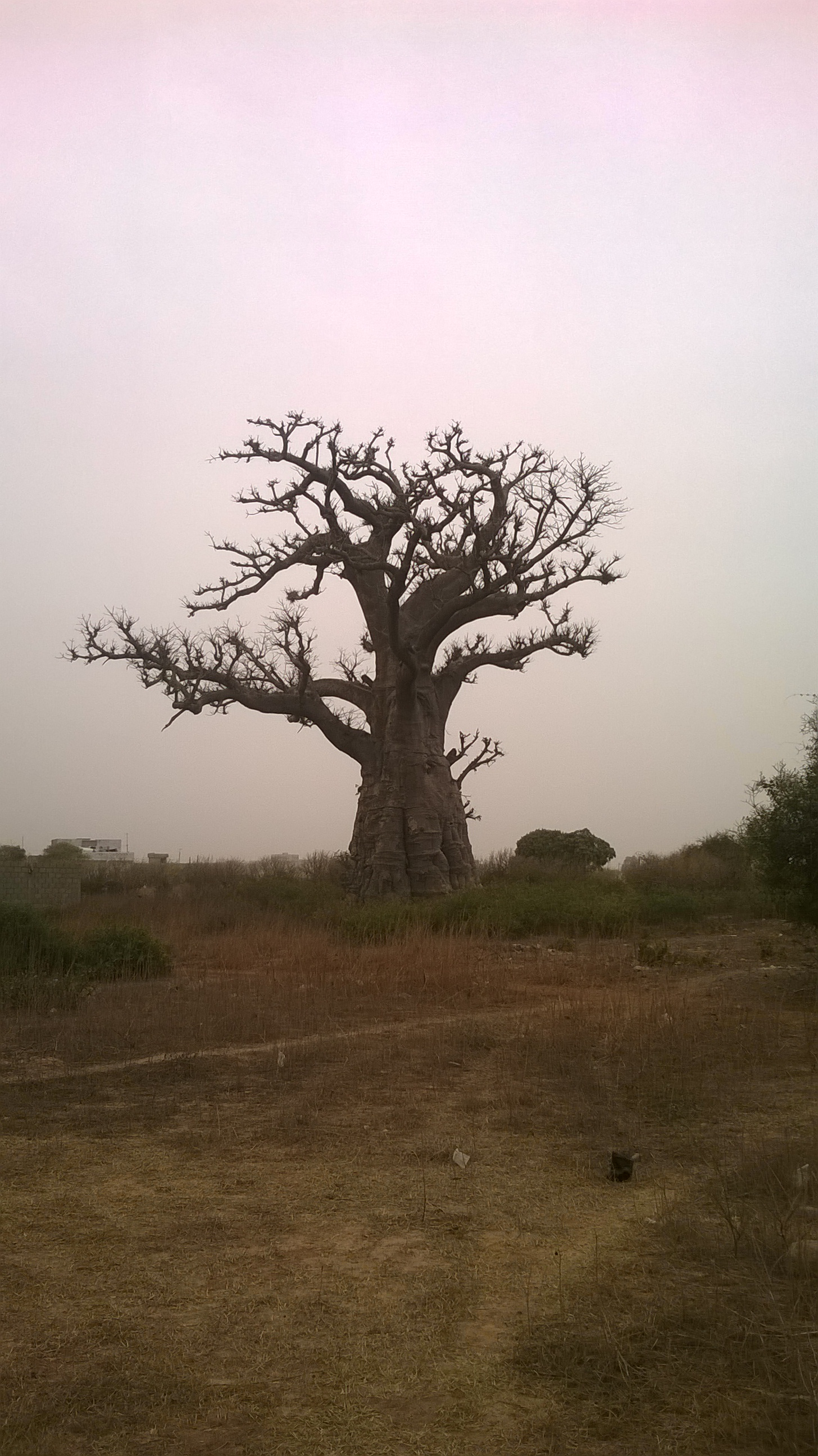 Baobab senegalés