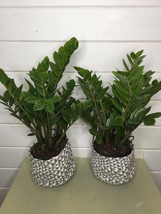 """Zamioculcas """"Z.Z"""" Plant"""