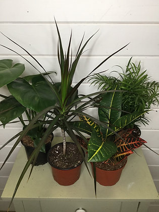 Tropical Plants Assorted 6""