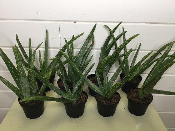 """Aloe 4"""""""