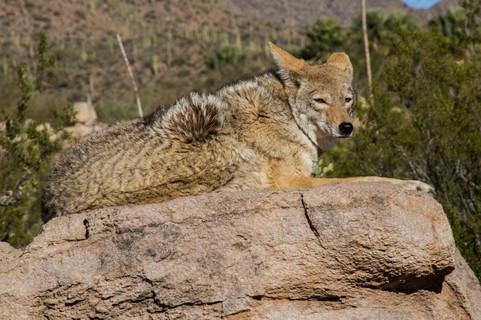 """Coyote"" Desert Museum, AZ"