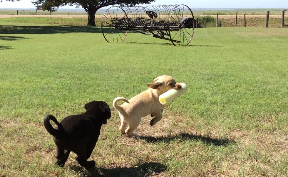 pups playing.jpg