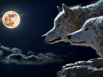 זאב שחור - זאב לבן