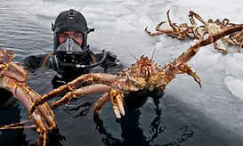 diver_holding_king_crab_kirkenes_finnmar