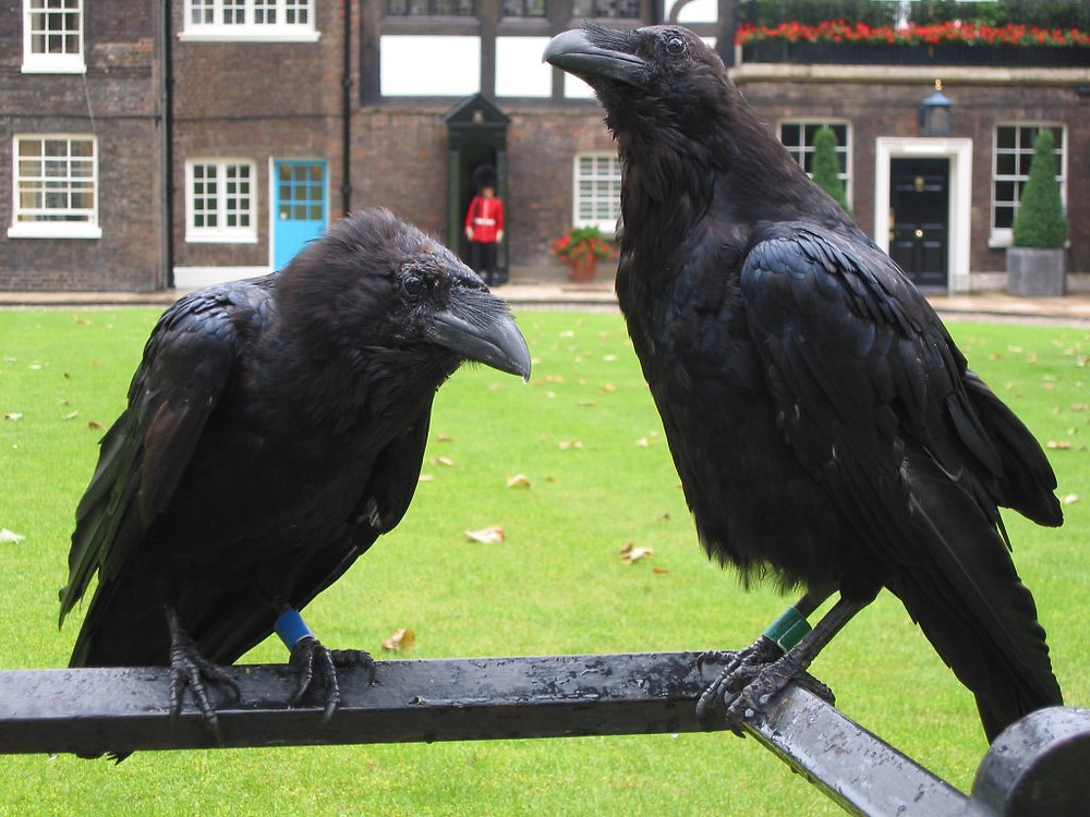 Two large ravens at the Tower of London
