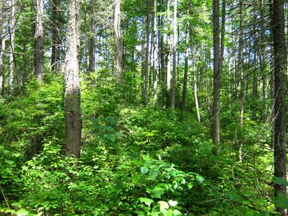 Forêt_Résineux2.JPG