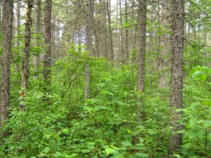Forêt_Résineux1.JPG