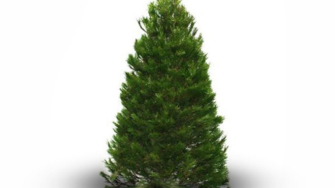 Lodgepole (Pinus Contorta)