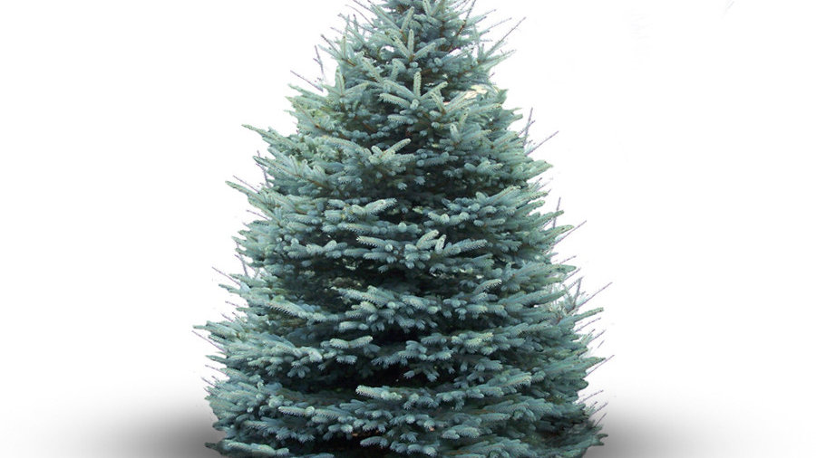 Blue Spruce (Picea Pungens Glauca)