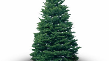 Noble Fir (Abies Procera / Abies Nobilis)