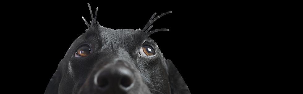 Closeup Labrador Schnauze