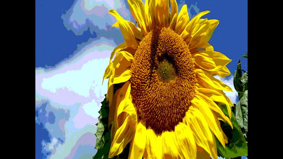Encounter with a wild sunflower