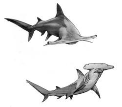 requins 1.jpg