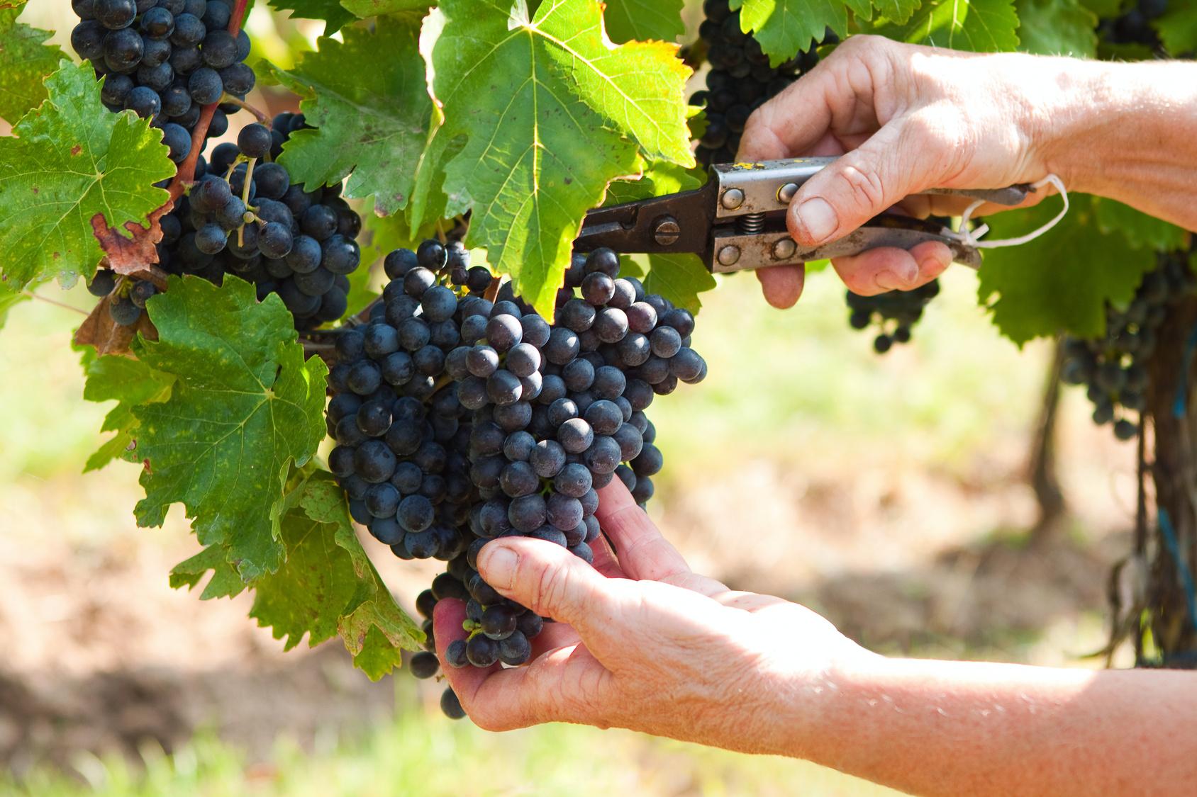 Виноделы Тосканы, итальянские вина