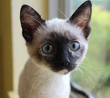 kitten siamese cropped.jpg
