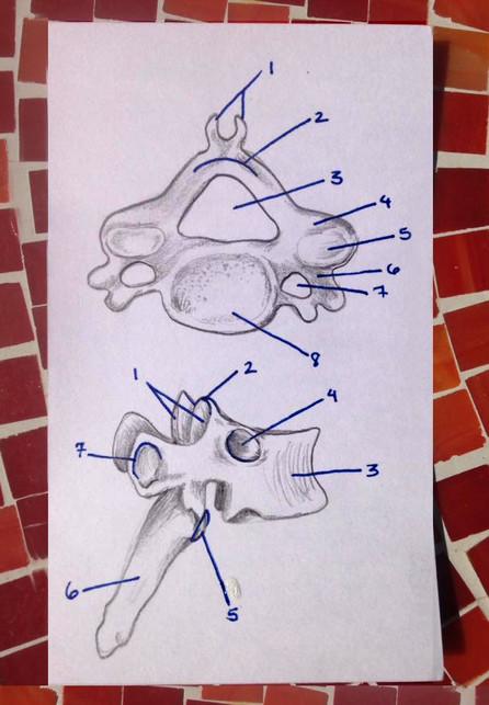 Thoracic and cervical vertebrete
