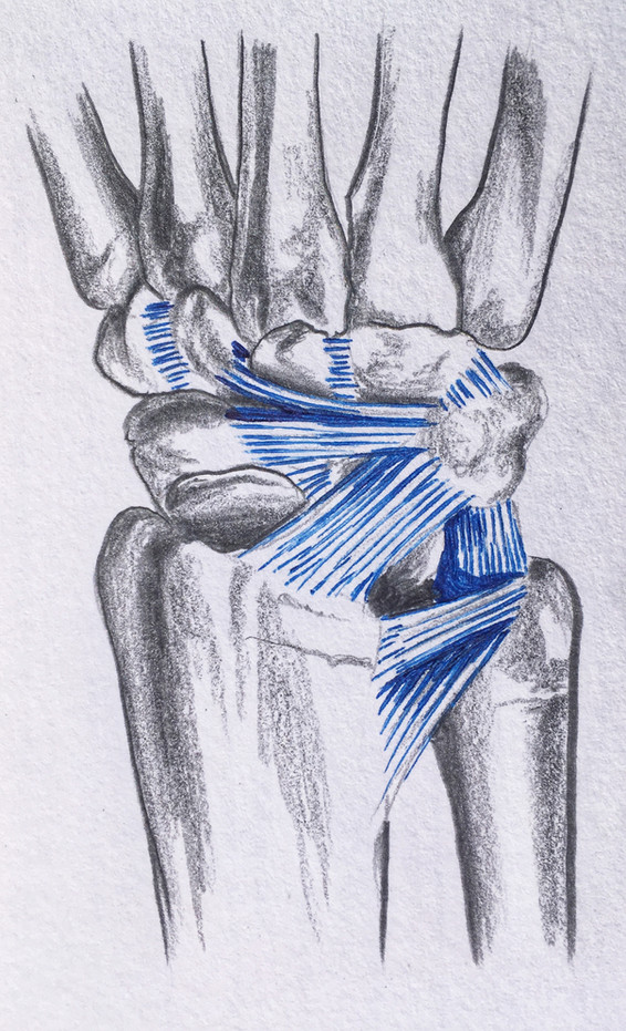 Ligaments of the wrist, posterior view