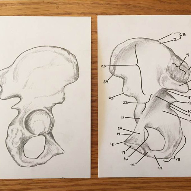 Pelvis bone markings, posterior and anterior view