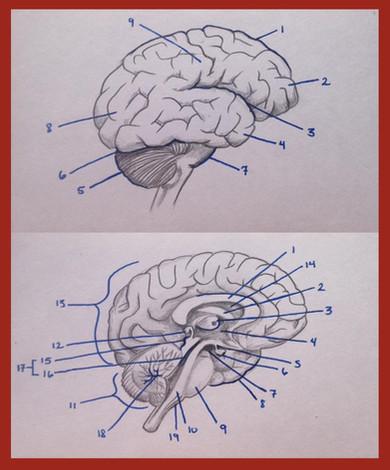 Gross anatomy of the brain