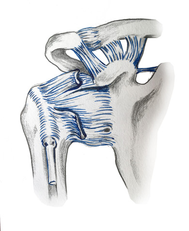 Glenohumeral ligaments