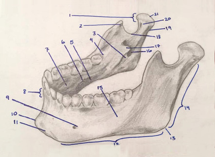 Mandible bone markings