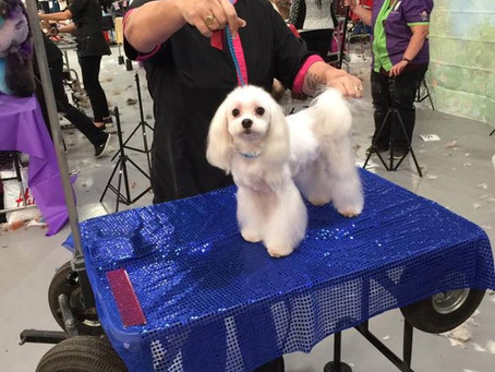 Cindy entered the British dog grooming championships with Leo in Asian Fusion class.