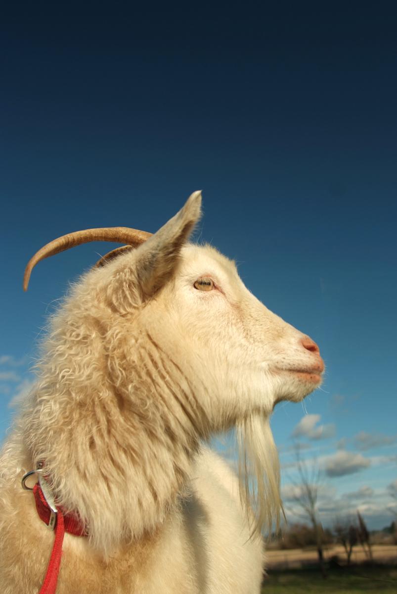Goat0336.jpg