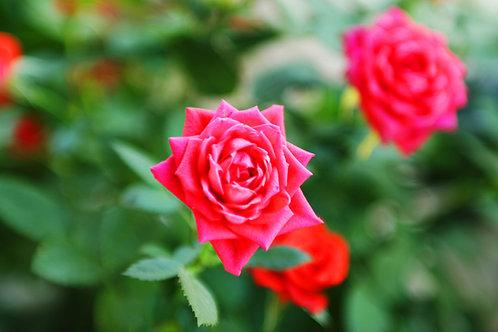 Agua de Rosas ... Hidrolato de Rosas