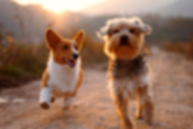 two brown and white dogs running dirt ro