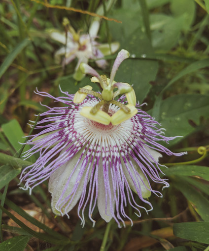 Passionflower | Calm the Mind. Center the Heart.