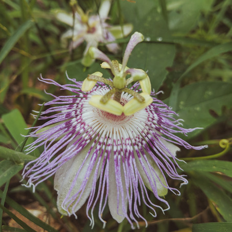 Passionflower   Calm the Mind. Center the Heart.