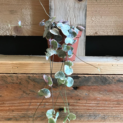 String of Hearts (Ceropegia Woodii) Variegated