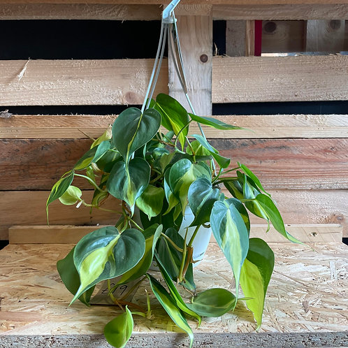 Heartleaf Philodendron in Hanging pot