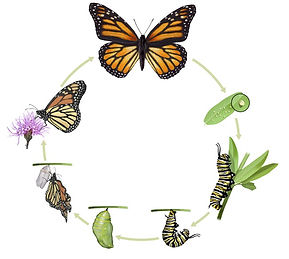 butterfly-life-cycle-730.jpg