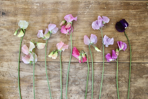 Sweet Pea 'Cottage Garden Collection'